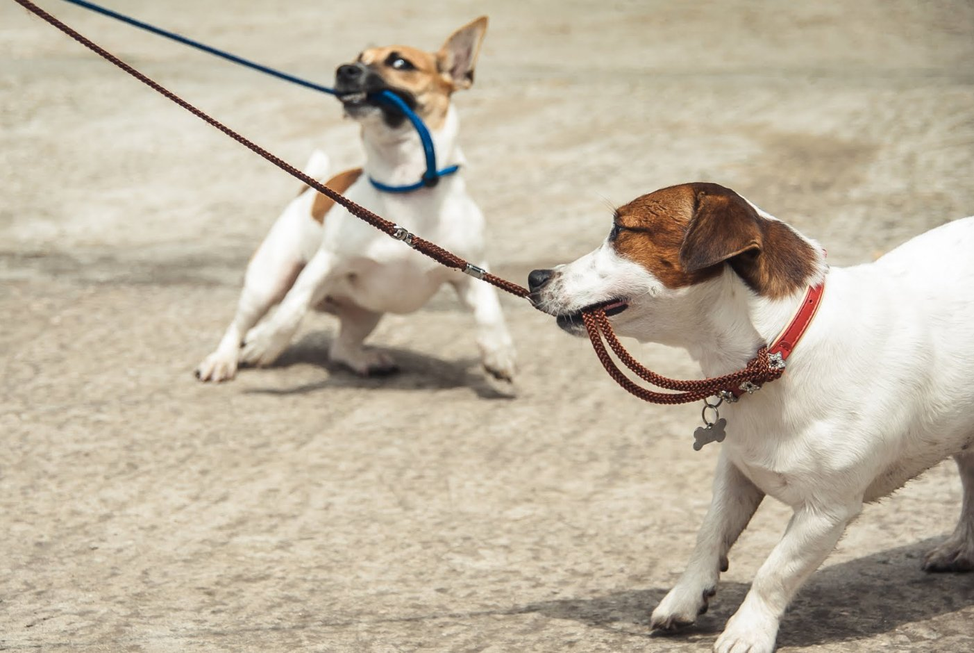 dogs pulling on leads