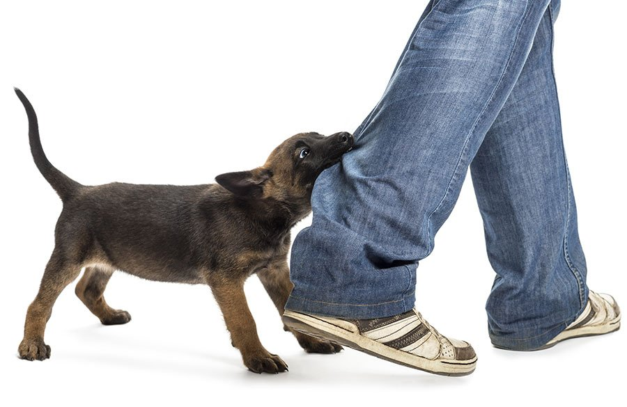 puppy pulling on owners pants